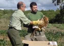 Vejer de la Frontera libera a un águila imperial ibérica catalogada en peligro crítico de extinción por ser una de las cuatro aves más escasas del planeta después de rescatarla en Jerez