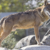 La Junta de Andalucía estudia la población de lobo ibérico en el Parque Natural de Cardeña, Montoro y Hornachulos para elaborar el segundo plan de protección de esta especie emblemática y esencial