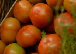 La producción y comercialización de tomate industrial supone una fuente de empleo para los vecinos y vecinas del Bajo Guadalquivir, sector en el que trabajan más de mil personas durante el periodo estival