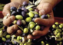 La Cooperativa Agrícola San José de La Puebla de Cazalla acoge hoy las XXXIII Jornadas de Aceituna de Mesa, donde se tratará la innovación, modernización y empleo en el sector ante la nueva PAC