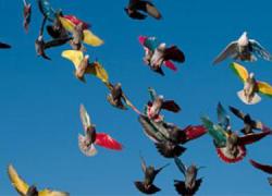 Las personas aficionadas a la columbicultura podrán disfrutar hasta el próximo 7 de mayo del vuelo de hasta 105 palomos en el torneo autonómico que se celebra en el municipio almeriense de Olula del Río