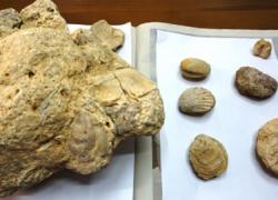 La donación de una colección de piezas arqueológicas con cuatro millones de años de antigüedad aumenta el patrimonio del Museo Histórico Municipal y el Centro de Interpretación de Fósiles Marinos de Vera