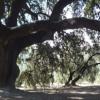 La encina milenaria de la aldea de Llanos de Don Juan, en Rute, aspira a ser declarada monumento natural para poner en valor a este ejemplar único en la provincia que cuenta con unos  450 años de antigüedad