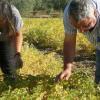 La cooperativa Campo de Tejada, de Escacena del Campo, está cerca de obtener una nueva variedad de garbanzo llamada 'Tejada 19' que se incorporará a la Indicación Geográfica Protegida del Garbanzo de Escacena