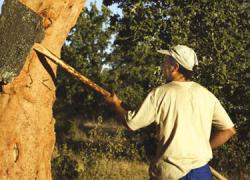 La campaña de recogida del corcho en la Serranía de Ronda apunta a una producción un 30% superior a la del 2015, alcanzando una facturación de más de seis millones de euros en toda la provincia malagueña