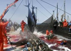 Los trabajadores de la almadraba de Tarifa esperaban mejores resultados en la Comisión Internacional para la Conservación del Atún Atlántico