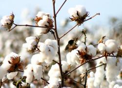 Las 40 hectáreas dedicadas al cultivo del algodón de Escacena del Campo se benefician del primer pago de las ayudas de la PAC al cultivo del algodón en Huelva