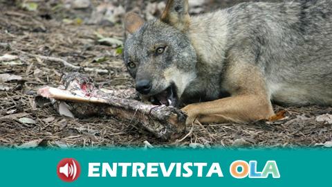 Ecologistas en Acción cree necesaria la protección del lobo aprobada por el Congreso de los Diputados pero piden medidas que permitan la convivencia con la ganadería