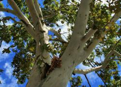 La Asociación Ecologista Ituci Verde creará una alameda en el camino de La Lama de Escacena del Campo