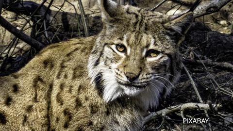Jaén contará con un paso de fauna para paliar los atropellos a linces