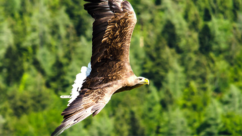 Vejer sigue dando pasos para la recuperación del águila imperial, en peligro de extinción
