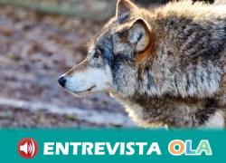 EQUO plantea medidas de recuperación del lobo ibérico haciendo compatible su conservación con las actividades humanas del medio rural