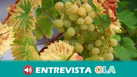 """La localidad malagueña de Manilva arranca su Fiesta de la Vendimia este fin de semana con """"pisá"""" de uvas incluida"""