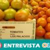 Los tomates de Los Palacios Y Villafranca triplican su producción y aumenta las exportaciones