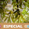 La situación de falta de rentabilidad del aceite de oliva es punto principal del Consejo Andaluz del Olivar