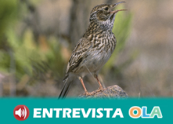 La alondra ricotí, el ave «más rara de España», puede desaparecer de Andalucía en unos cinco años