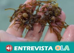 La proliferación del alga parda en el litoral andaluz se debe principalmente al factor humano