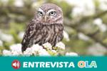 Las lechuzas vuelven a anidar en los olivares de la provincia de Córdoba gracias