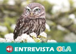 Las lechuzas vuelven a anidar en los olivares de la provincia de Córdoba gracias «Olivares Vivos», un proyecto Life financiado con fondos europeos