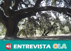 La encina milenaria de los Llanos de Don Juan, en Rute, es una de las galardonadas en el concurso Árbol del año